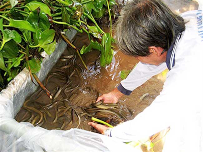 Kỹ thuật chăm sóc lươn bệnh